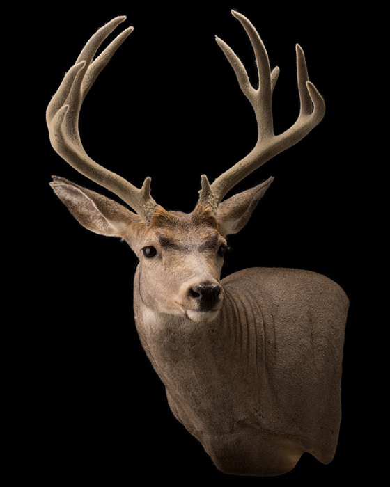 Early Montana Bow Mule Deer