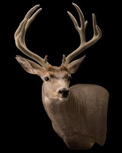 Early Montana Bow Mule Deer