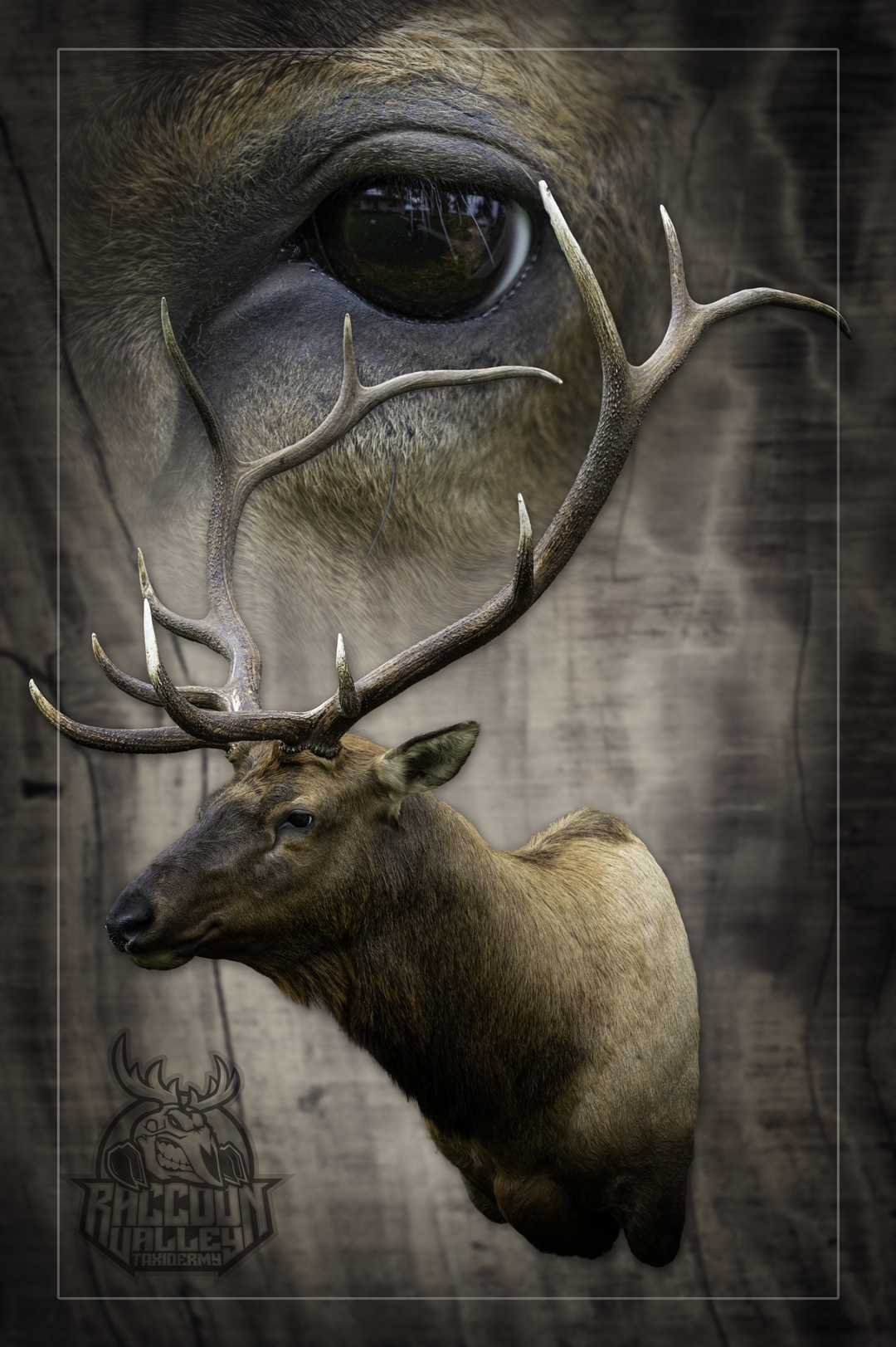 Colorado Elk Taxidermy, taxidermist