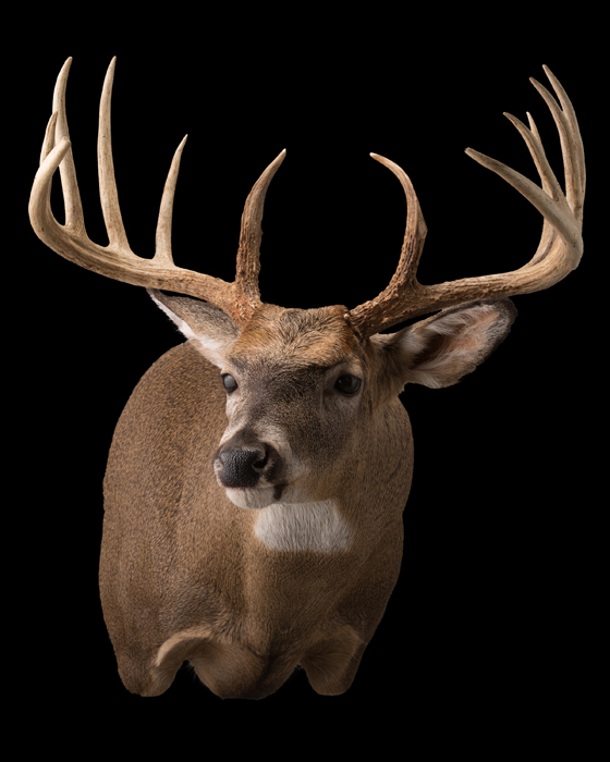 Deer Taxidermy, Full Sneak