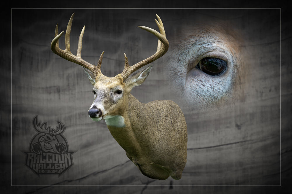 Whitetail Deer mount