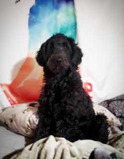 black f1 goldendoodle