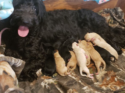 goldendoodle with puppies
