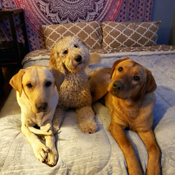 goldendoodle and lab