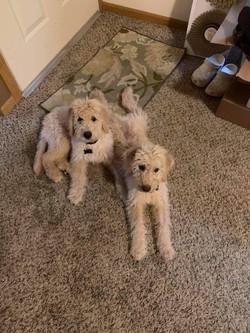 Cream Goldendoodles