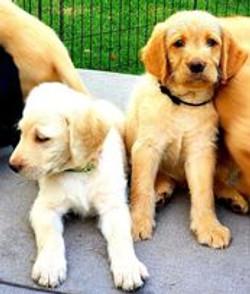 Cream Double Doodle Puppies