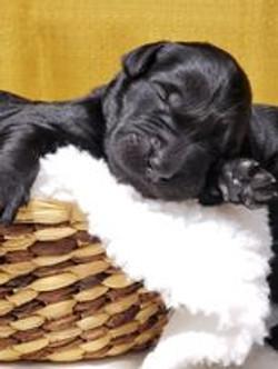 black goldendoodle puppy