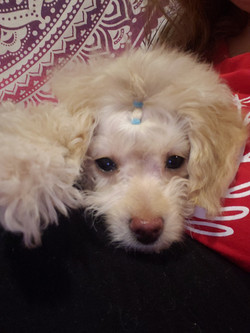 cream toy poodle puppy