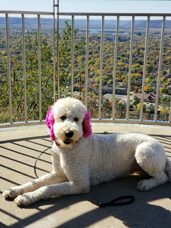 goldendoodle pink ears