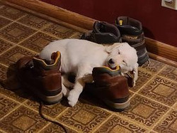 Puppy laying on a shoe