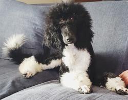 tuxedo standard poodle