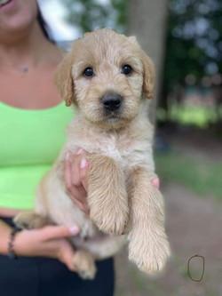 Cream Goldendoodle puppy