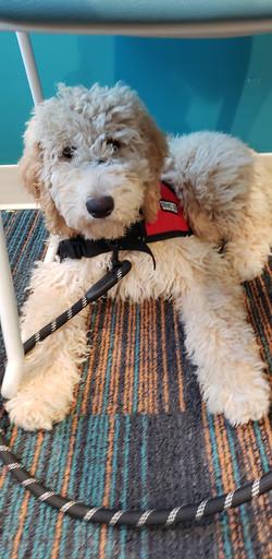 goldendoodle service dog