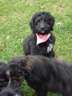 black bernedoodle puppy