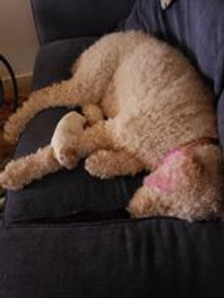 Goldendoodle Dam and puppy