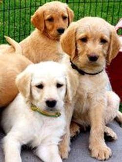 Yellow Doodle puppies