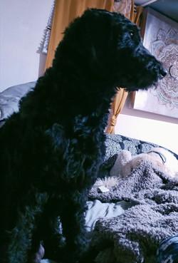 black standard goldendoodle