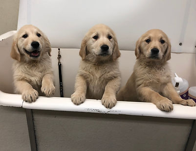 Tub golden pups.JPG
