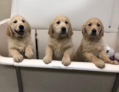 Tub golden pups.JPG