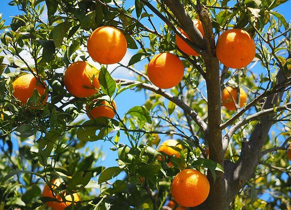 Variedades de Naranjos