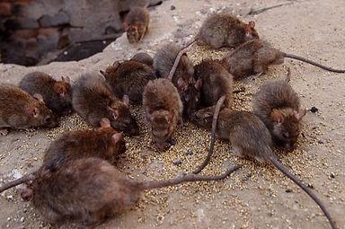 Black-rats.jpg