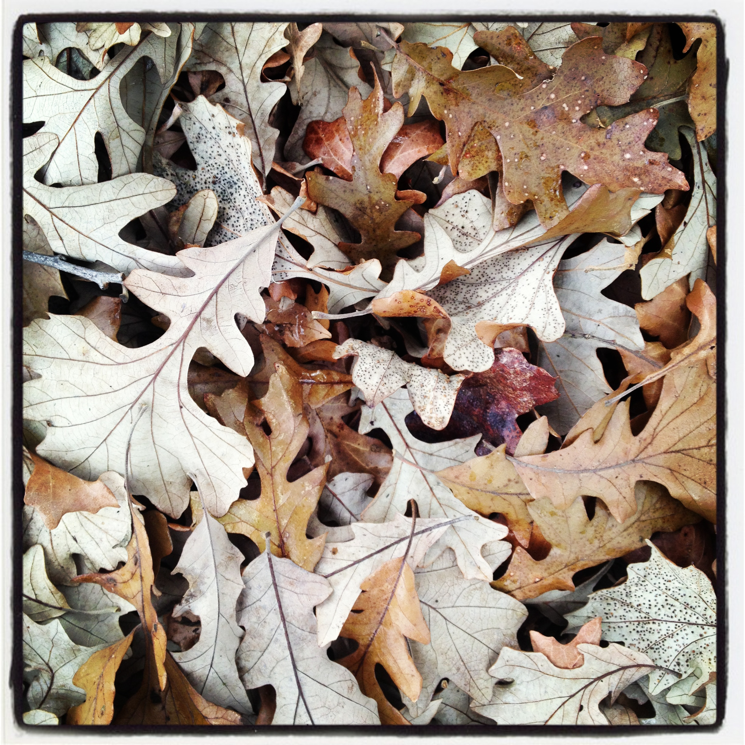 fall oak leaves photography