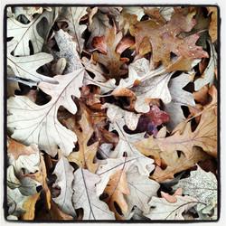fall oak leaves photography