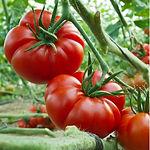 tomato-Marmande2.jpg
