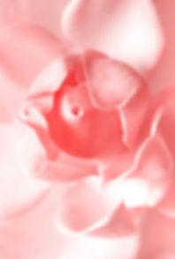大きなバラの写真