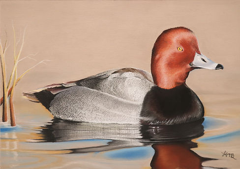 Redhead Duck 1.JPG