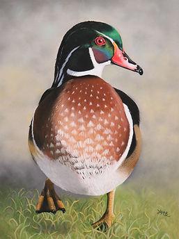 Wood Duck 1.JPG