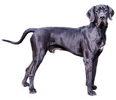 great-dane-clipart-transparent-628548-32