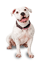 dog-pitbull-19.png
