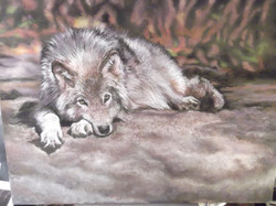 Mexican Wolf at Rest
