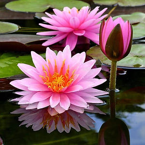 Flor-de-Lótus-II.jpg