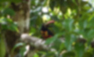 firey-billed-aracari.jpg