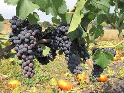 01_grapes-pg-horizontal