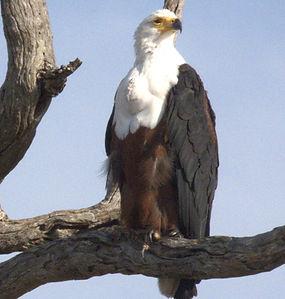 Eagle%2C%20African%20Fish%203%20Kruger%2