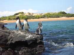 Pinguinos Galapagos