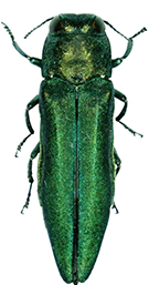 Agrilus_planipennis_131x256+5pxspacetop.png