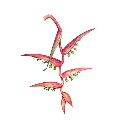 Heliconia sp, 2012 - Sergio Allevato