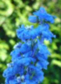 Blue Delphinium web.jpg