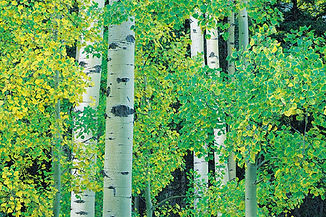 aspen-trees-green.jpg