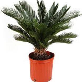 Sago Palm 5 gal pot