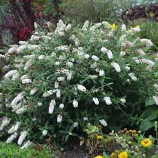 BUDDLEIA LITTLE ANGEL 1G BUTTERFLY BUSH