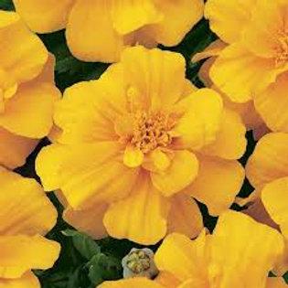 Marigold Durango Yellow Flat 48 plants