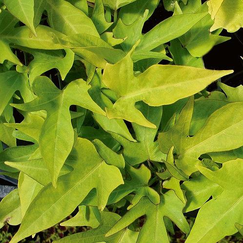IPOMEA SWEET POTATO  SWEET CAROLINA 4.5INCH BENCH POT