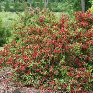 WEIGELA SONIC BLOOM RED 1G BUSH