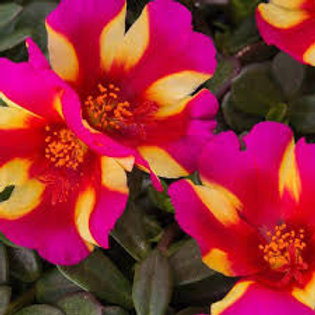 PORTULACA COLORBLAST WATERMELON HANGING BASKET