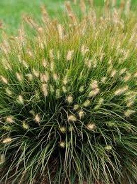 PERENNIAL GRASS PENNISETUM LITTLE BUNNY